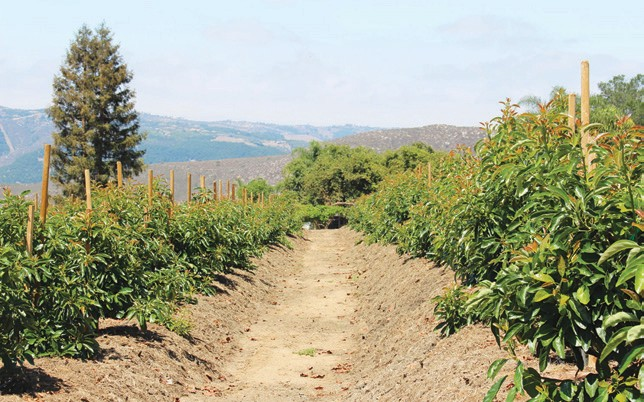 New method of planting could save avo industry   Escondido